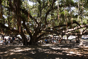 Hawaii Maui Facts Lahaian Banyan Tree