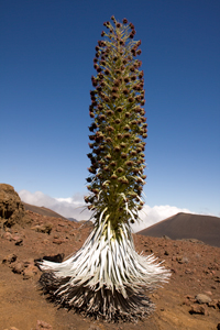 Hawaii Maui Facts Haleakala Silversword