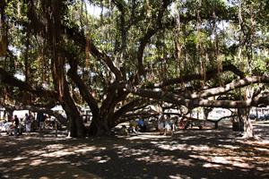 Hawaii Maui Facts Lahaian Banyan Tree