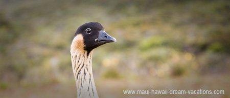 Maui FAQ Haleakala Bird