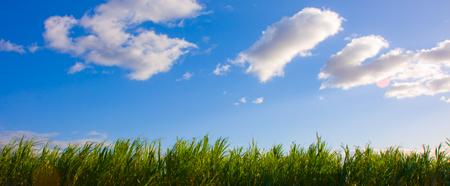 Maui HI Facts - Sugar Cane